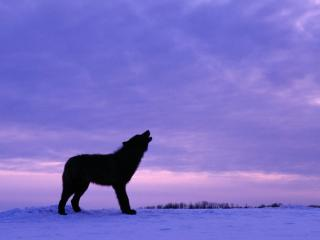 обои Twilight Howl, Black Wolf фото