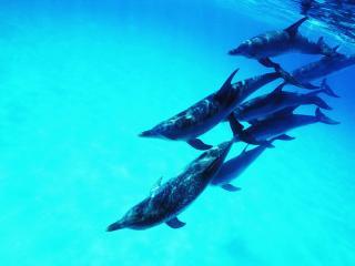 обои Стая Дельфинчиков фото