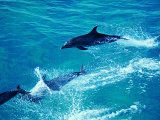 обои Игра дельфинов фото