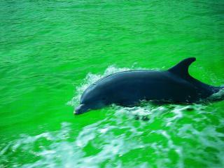 обои Дельфин на поверхности фото