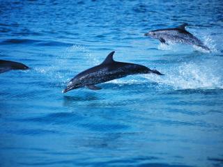 обои Дельфины резвятся над водой фото