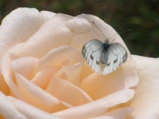 обои Роза и бабочка макро фото