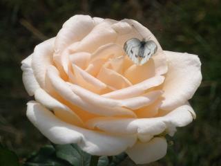 обои Роза и бабочка фото