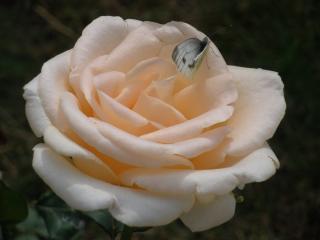 обои Роза и бабочка сбоку фото