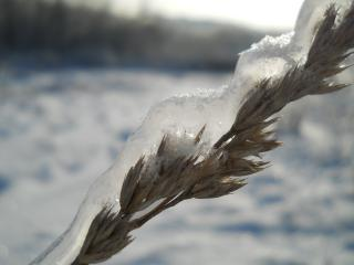обои Колосок сухой травы во льду фото