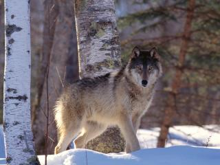 обои Full Profile, Gray Wolf фото