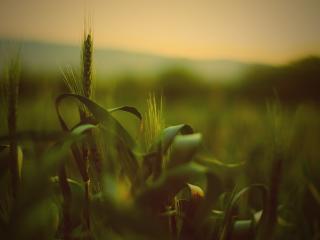 обои Зеленые колосья урожая фото