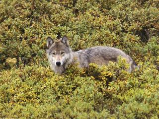 обои Tundra of Alaska, Gray Wolf фото