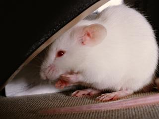 обои Крыса альбинос фото