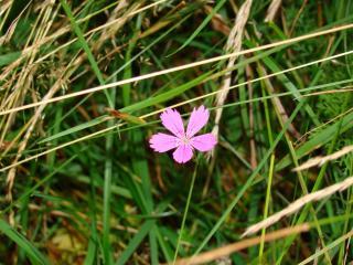 обои Фиолетовый цветок среди зеленой травы фото