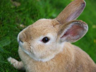 обои Рыжий кролик с черными глазками фото