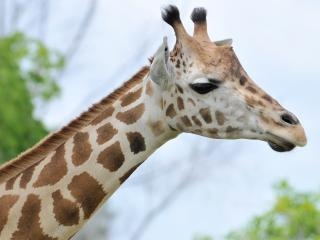 обои Голова африканской жирафи фото