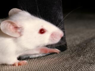 обои Белая крыса фото
