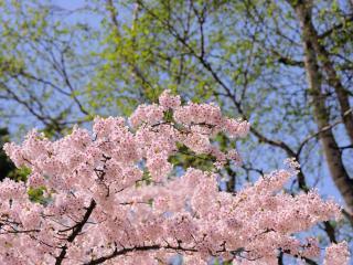 обои Цветущая ветка весенней яблони, на фоне березок фото