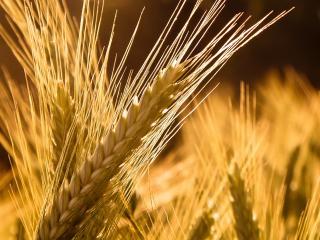 обои Спелая пшеница колосья фото