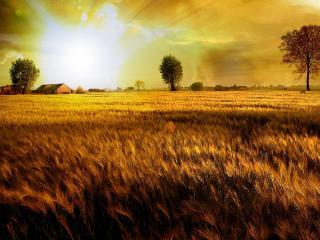 обои Спелая пшеница в поле фото