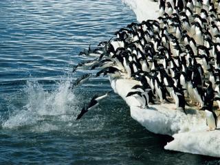 обои Пингвины ныряют в воду фото