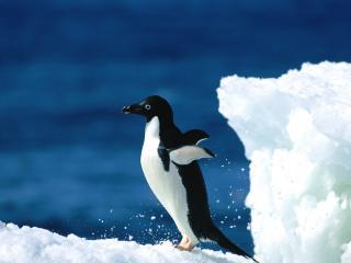 обои Одинокий пингвин фото