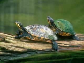 обои Две морские черепахи фото
