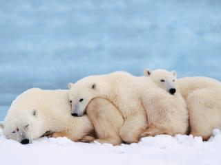 обои Белые медведи спасаются от холода фото