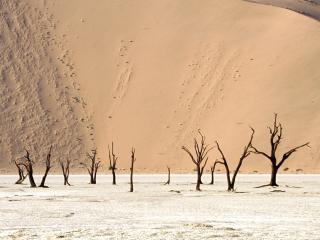 обои Голые деревья в пустыне фото