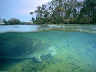 обои West Indian Manatee, Crystal River, Florida фото
