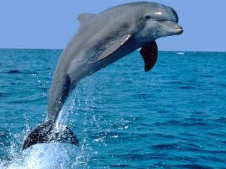 обои Дельфин в прыжке фото
