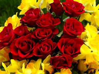 обои Желтые нарциссы и красные розы фото