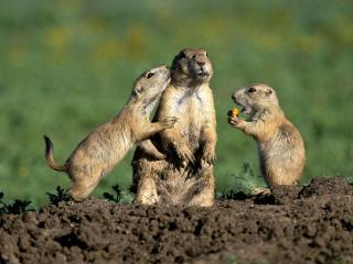 обои Три сурка в грязи фото