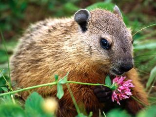 обои Грызун нюхает цветок фото