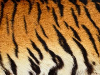 обои Шкура тигра фото