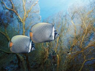 обои Две сказочные рыбки фото