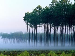 обои Деревья во время тумана фото