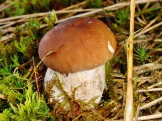 обои Белый гриб фото