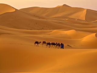 обои Небольшой караван верблюдов в пустыне фото