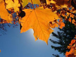 обои Осенние кленовые листья фото