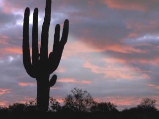 обои для рабочего стола: Гигантский кактус, штат Аризона