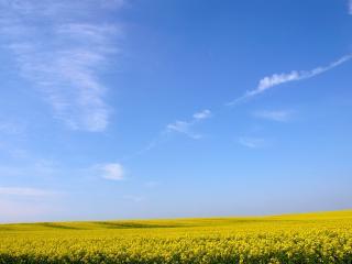 обои Желтое поле,   синее небо фото