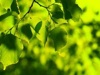 обои Зеленые листья деревца фото