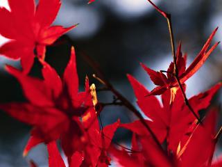 обои Кленовые красные листья фото