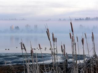 обои Камыш и озеро в тумане фото