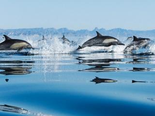 обои Дельфины в прыжке фото
