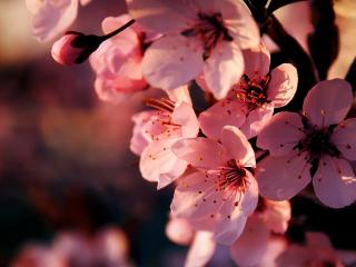 обои Сакура цветёт розовым фото