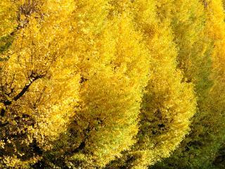 обои Золото осенних деревьев фото