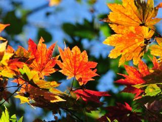 обои Яркие кленовые листья. Осень фото