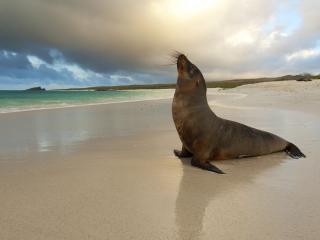 обои Морской котик на песочном берегу фото