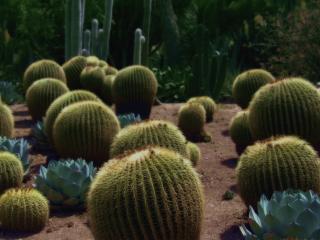 обои Царство кактусов фото