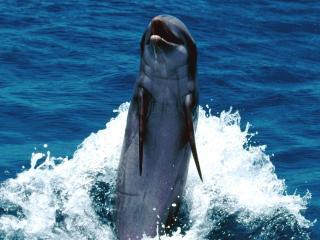 обои Дельфин на заднем плавнике фото