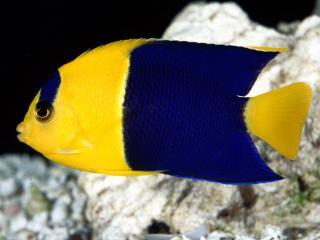 обои Рыбка - украинский флаг фото