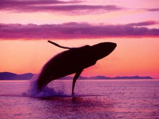 обои Синий кит в прыжке фото